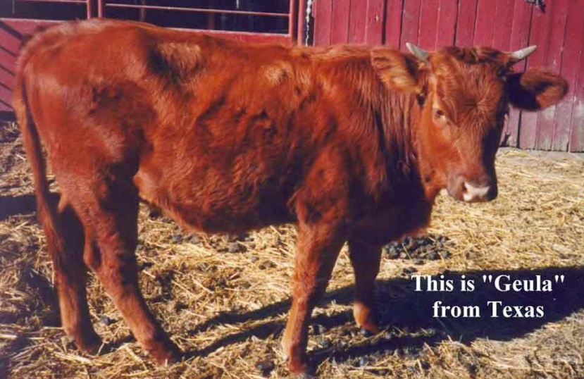 Vaca roja